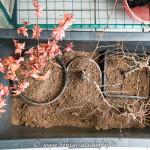Bonsai in einer Kiste mit Torf-Sand-Gemisch