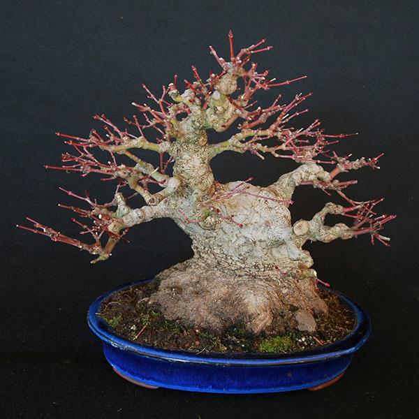 Acer palmatum Shohin von Roland Schatzer