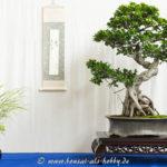 Ficus Bonsai-Baum