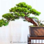 Gemeinse Eibe - Taxus baccata