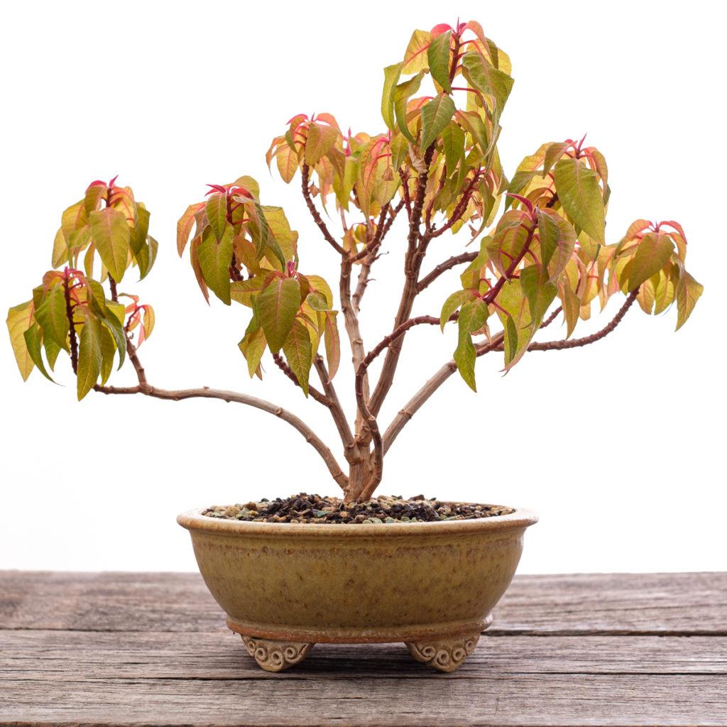 Weihnachtstern (Euphorbia pulcherrima ) als Bonsai Baum
