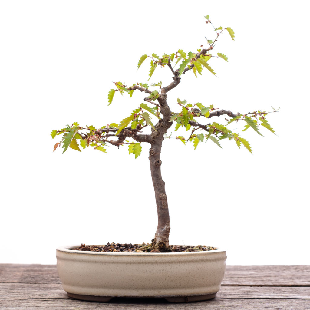 Zelkove Bonsai im Mai 2020