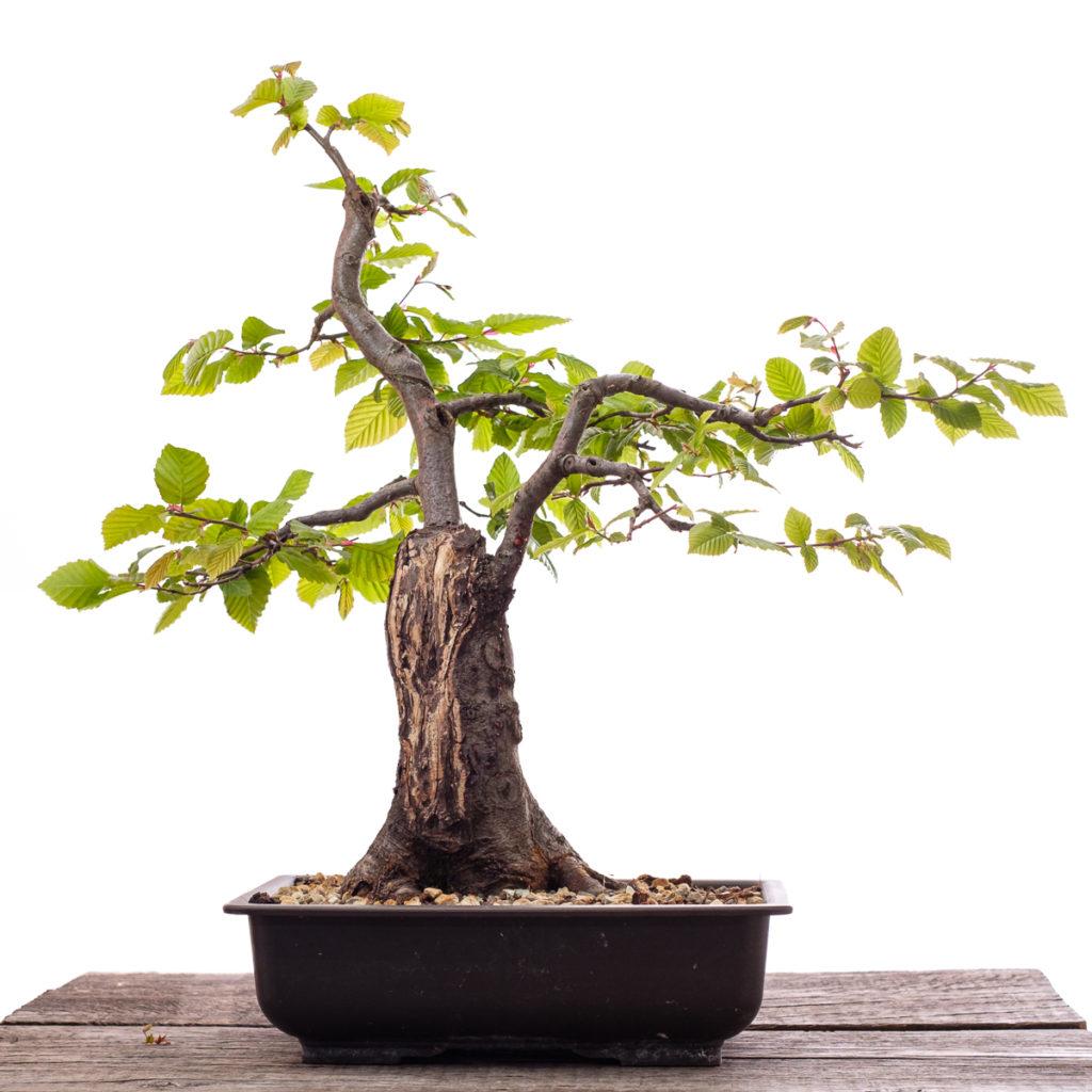 Hainbuche (Carpinus betulus) im Mai 2020