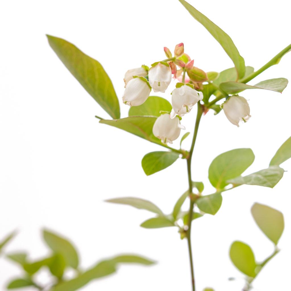Weiße Blüten Heidelbeere
